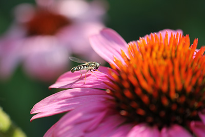 Photo of a fly on a pink flower