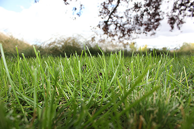 Close-up photo of a lawn, with sky and a tree in the background