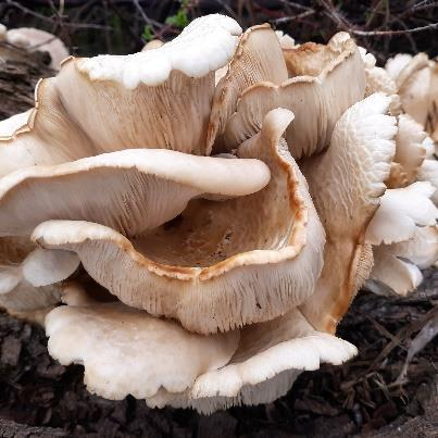 Figure 7: Photo of an oyster mushroom, showing shelf-like clustering of caps